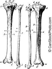 Skeleton of the leg, vintage engraving.