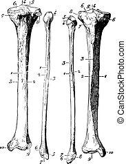 Skeleton of the leg, vintage engraving.