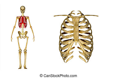 Skeleton of thorax - The thoracic skeleton is a component of...
