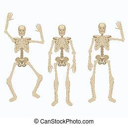 skeleton., olik, positions., skelett, mänsklig, silhuett