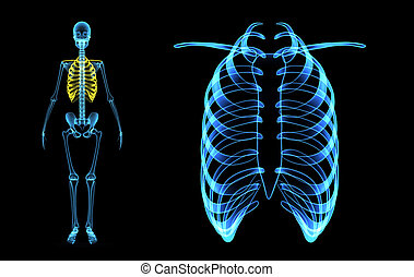 Skeleton ribcage - The skeletal system includes all of the...
