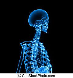 Skeleton side blue - The human skeleton is the internal...