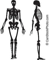 skeleton., silhuett, mänsklig