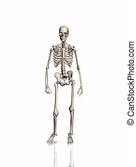 Skeleton. - Skeleton over white, isolated.