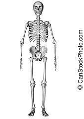 Skeleton - Sketch - 3D render of a highly detailed...