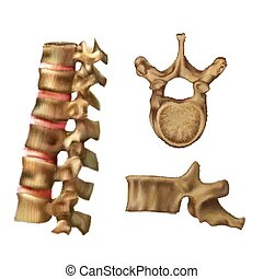?????? - Skeleton Spine (Structure of the 6th vertebra)