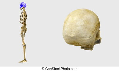 Skeleton - The human skeleton is the internal framework of...