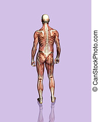skeleton., transparant, hombre, anatomía, muscular