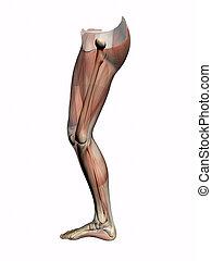 skeleton., transparant, jambe, anatomie