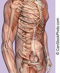 skeleton., transparant, man, anatomie, gespierd