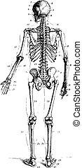 Skeleton, vintage engraving. - Skeleton, rear view, vintage...