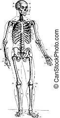 Skeleton, vintage engraving. - Skeleton, front view, vintage...