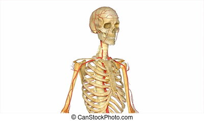 Skeleton with arteries