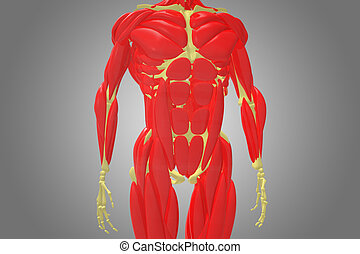 skeleton with chest muscle - The pectoral girdle or shoulder...