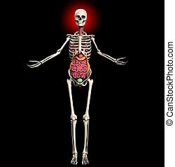 Skeleton With Internal Organs