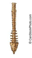 ?????? - Skeleton_Spine (Back)