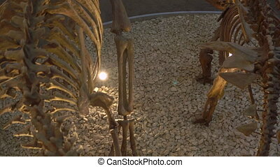 skeletons of dinosaurs stegosaurus and allosaurus in the...
