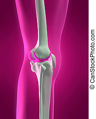 skelett, knä