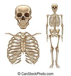 skelett, kranium, rygg, vektor, mänsklig, knotor, 3