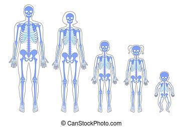 skelett, mänsklig, åldern, olik