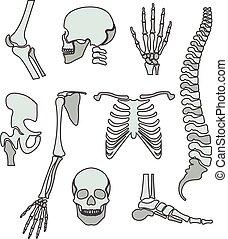 skelett, mänsklig