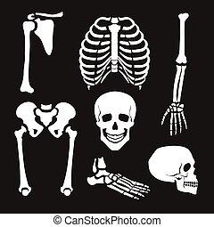 skelett, mänsklig, kollektion