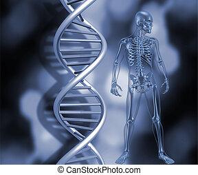 skelett, med, dna, strängar