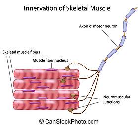 skelett, muskel