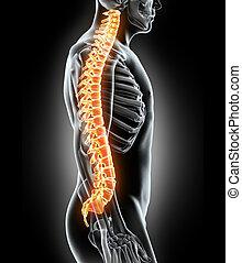 skelett, -, system, spine., menschliche , röntgenaufnahme