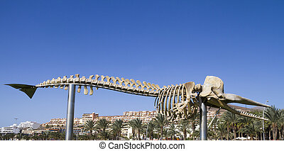 skelett, von, a, pottwal