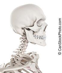 skelettartig, -, system, hals
