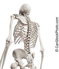 skelettartig, -, system, thorax