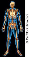 skelettartiges system, menschliche