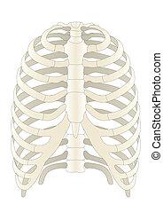 skelton, humano, vector, huesos