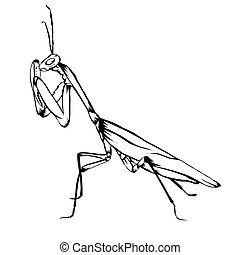 Sketch design of illustration Praying mantis on White background