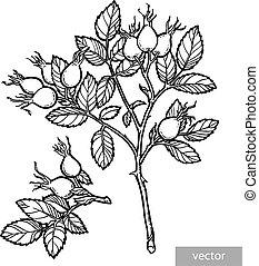 sketch., handdraw, rosehip, 夏, バラ, 庭, vector., 鉛筆, 熟した, デザイン...