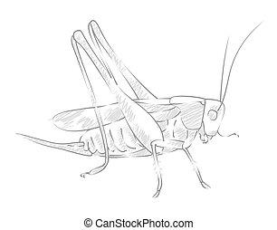 Sketch large locust.  - Sketch of a big winged locust.