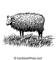 sketch of a sheep, hand drawn illustration
