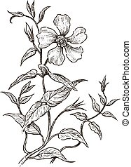 Sketch of a twig of wild rose