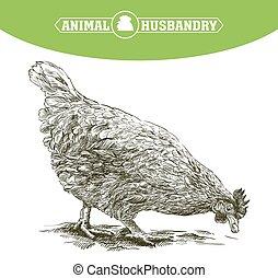 sketch of chicken. poultry breeding. livestock