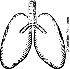 Sketch of human lungs with trachea
