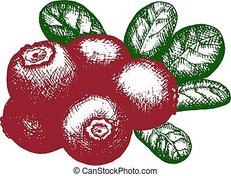 sketch of lingonberry
