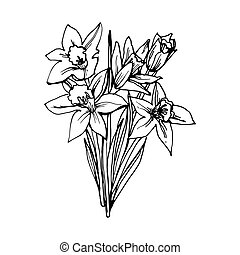 Narcissus - Sketch of Narcissus Daffodil Flowers. Drawn a ...