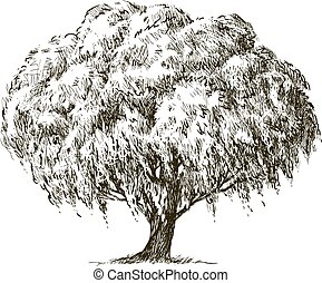 Sketch of old willow tree