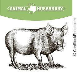 sketch of pig drawn by hand. livestock - sketch of pig drawn...