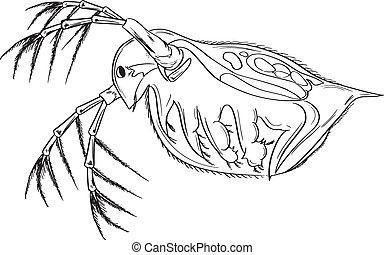 Daphnia - Sketch of the protozoan Daphnia