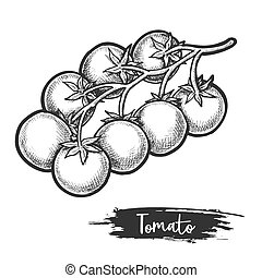 Sketch of tomato branch with fetus. Vegetable