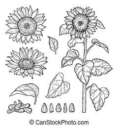 sketch., semillas de girasol, colección, vector, florecer, flores