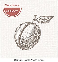 Sketches apricot composition. Hand drawn apple. Vintage sketch style illustration.