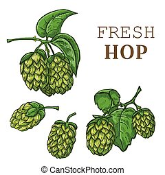 Sketches of hop plant, hop on a branch with leaves